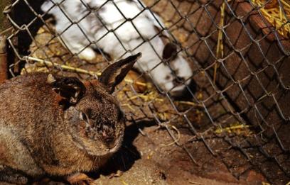 Crueldad animal.Pieles de conejo,el horror que hay detras.