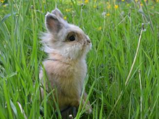 Nueva Zelanda está liberando un virus que mata conejos